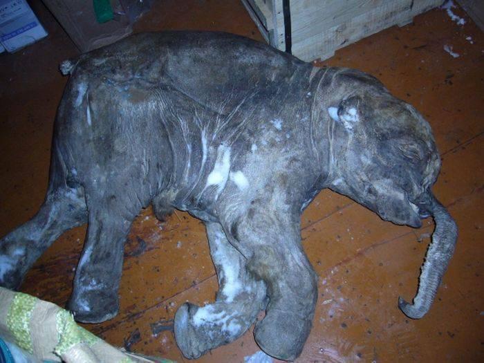 Zamarznięty mamut 5