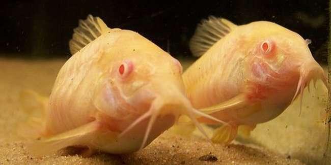 Albinosy 20