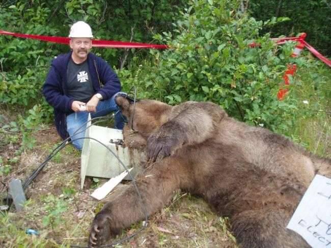 Niedźwiedź porażony prądem 1