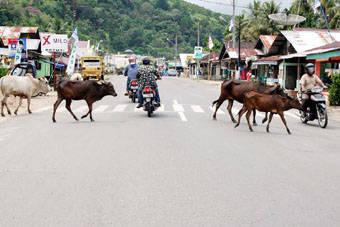 5528300a1e4700632721da7da1e1747f566ba6e Ternak Lalu lalang di Jalinsum Sibolga Padangsidimpuan